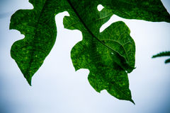 Grünes Blatt der Nahaufnahme der Papaya Lizenzfreie Stockbilder