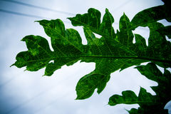 Grünes Blatt der Nahaufnahme der Papaya Lizenzfreie Stockfotografie