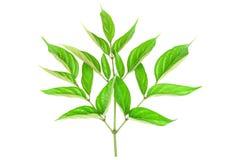 Grünes Blatt der Nahaufnahme mit den Wassertröpfchen lokalisiert auf weißem Hintergrund Lizenzfreies Stockfoto