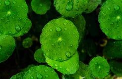 Grünes Blatt der Nahaufnahme, zum als Tapete einzustellen stockfoto
