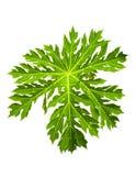 Grünes Blatt der Papaya Lizenzfreies Stockfoto