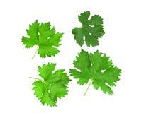 Grünes Blatt der Trauben Stockfotografie