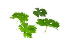 Grünes Blatt der Trauben. Isoalted Stockfotos