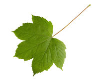 Grünes Blatt des Ahornbaums lokalisiert auf weißem backg Lizenzfreies Stockbild