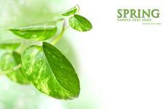 Grünes Blatt des Efeus Stockfotografie
