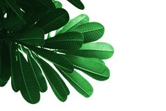 Grünes Blatt des Isolats auf weißem Hintergrund Lizenzfreie Stockfotografie