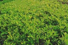 Grünes Blatt des kleinen Baumhintergrundes Stockfotos
