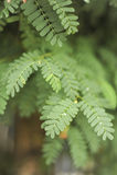 Grünes Blatt des Tamarindenbaums Lizenzfreies Stockfoto