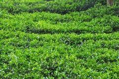 Grünes Blatt des Tees lizenzfreie stockfotografie