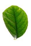 Grünes Blatt des Zitronenbaums Lizenzfreies Stockbild