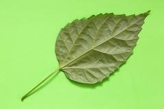 Grünes Blatt einer Anlage auf einem Grün Lizenzfreie Stockfotos