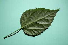 Grünes Blatt einer Anlage auf einem Grün Stockbild