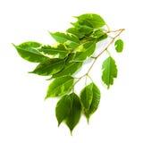 Grünes Blatt einer Anlage lokalisiert auf Weiß Lizenzfreies Stockbild