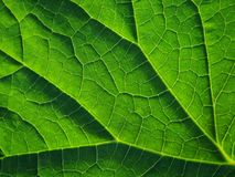 grünes Blatt geschossen im Makro Das Blatt zeigt Adern Lizenzfreie Stockfotografie
