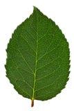Grünes Blatt getrennt lizenzfreie stockfotos