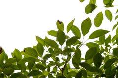 Grünes Blatt getrennt Stockfotografie