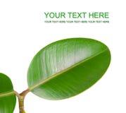 Grünes Blatt getrennt Lizenzfreies Stockfoto