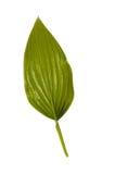 Grünes Blatt getrennt auf einem Weiß. Stockfoto