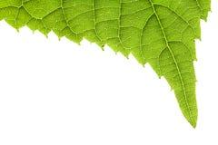 Grünes Blatt getrennt auf Weiß Lizenzfreie Stockfotografie