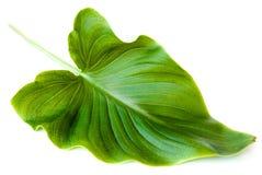 Grünes Blatt getrennt auf weißem Hintergrund Lizenzfreies Stockbild
