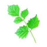Grünes Blatt lokalisiert Stockbilder