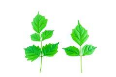 Grünes Blatt lokalisiert Stockfoto