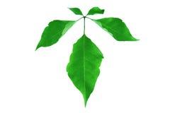 Grünes Blatt lokalisiert auf Weiß Lizenzfreie Stockfotos