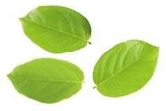Grünes Blatt lokalisierter weißer Hintergrund stockbild