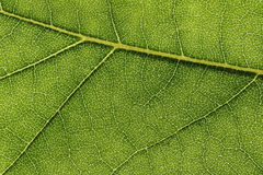 Grünes Blatt mit Beschaffenheitsmakro Lizenzfreies Stockfoto