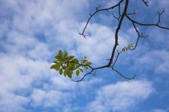 Grünes Blatt mit blauem Himmel Stockfotografie