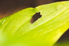 Grünes Blatt mit dem Loch gegessen Lizenzfreie Stockbilder