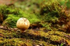 Grünes Blatt mit einem großen Wassertropfen Mit einer Kappe bedeckter Pilz Moos stockbilder
