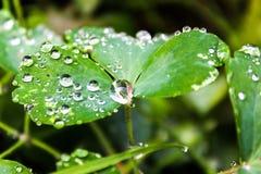 Grünes Blatt mit einem großen Wassertropfen Nahaufnahme der vollkommenen Wassertröpfchen auf einem Grasblatt Ein Tropfen Crystal  stockfotografie