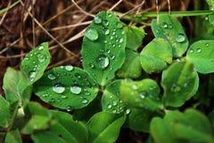 Grünes Blatt mit einem großen Wassertropfen Nahaufnahme der vollkommenen Wassertröpfchen auf einem Grasblatt Ein Tropfen Crystal  lizenzfreies stockfoto