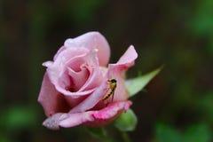 Grünes Blatt mit einem großen Wassertropfen Rose Insekt auf einer Blume stockfoto