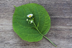 Grünes Blatt mit einer weißen Blume Lizenzfreies Stockfoto