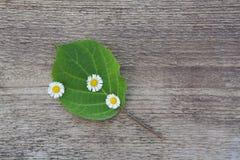 Grünes Blatt mit kleinen weißen Blumen auf einem hölzernen Hintergrund Lizenzfreie Stockbilder