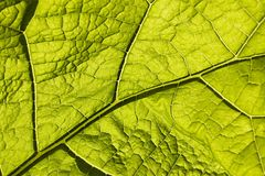 Grünes Blatt mit Makrovenation Stockfotos
