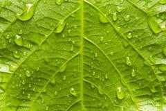 Grünes Blatt mit Regentropfen Stockbild