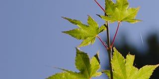Grünes Blatt mit roten stims gegen einen blauen Himmel mit Spinnennetz und Lizenzfreie Stockbilder