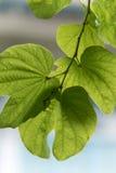 Grünes Blatt mit seiner Beschaffenheit und neuen Gefühl Stockbild