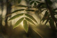 Grünes Blatt mit Sonne strahlt im Wald aus Stockbild