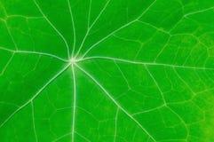 Grünes Blatt mit Streifen Stockbilder