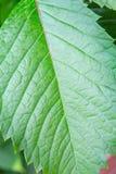 Grünes Blatt mit Streifen Stockbild
