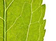 Grünes Blatt mit Struktur im Abschluss oben lizenzfreies stockbild