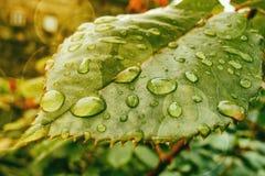 Grünes Blatt mit Tautropfen Stockbilder