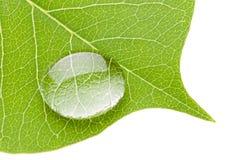 Grünes Blatt mit transparentem Wassertropfen Stockbilder