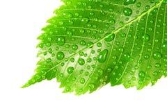 Grünes Blatt mit Tropfen des Wassers über Weiß Lizenzfreies Stockbild
