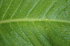 Grünes Blatt mit Tropfen des Wassers Lizenzfreie Stockfotografie