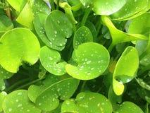 grünes Blatt mit Tropfenwasser Stockfoto